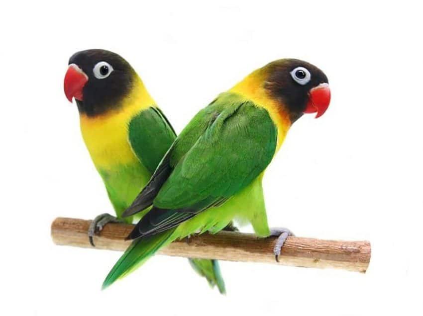 10 Vitamin Herbal untuk Lovebird