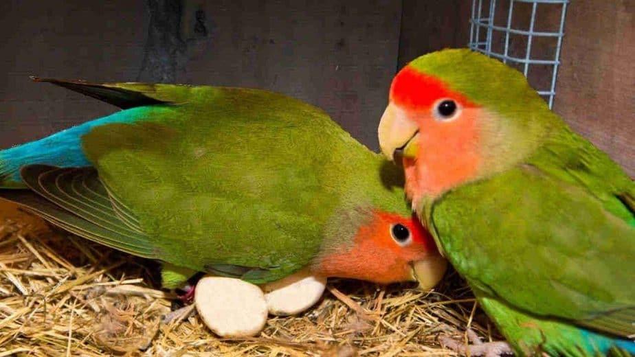 pembudidaya burung sejauh ini yang menjadikan sebagai salah satu hobi 8 Tanda Lovebird Sedang Mengeram