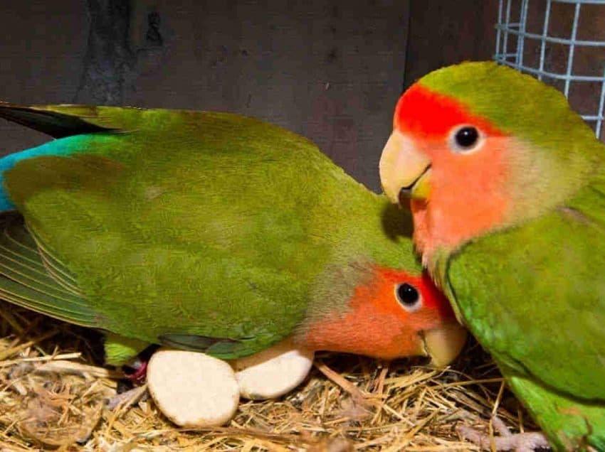8 Tanda Lovebird Sedang Mengeram