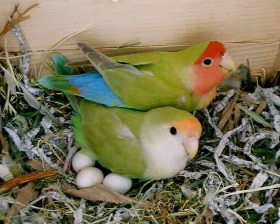 8 Tanda Telur Lovebird Tidak Menetas