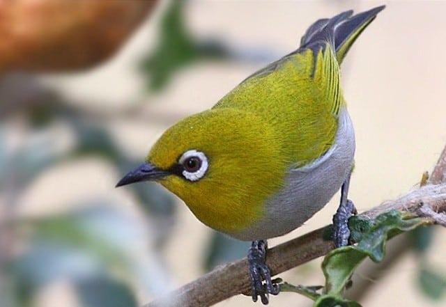 8 Cara Mengetahui Umur Burung Pleci