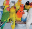 10 Jenis Lovebird yang Banyak Diminati