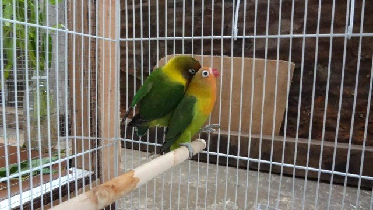 8 Tanda Lovebird Sudah Jodoh Yang Terlihat Jelas Arenahewan Com