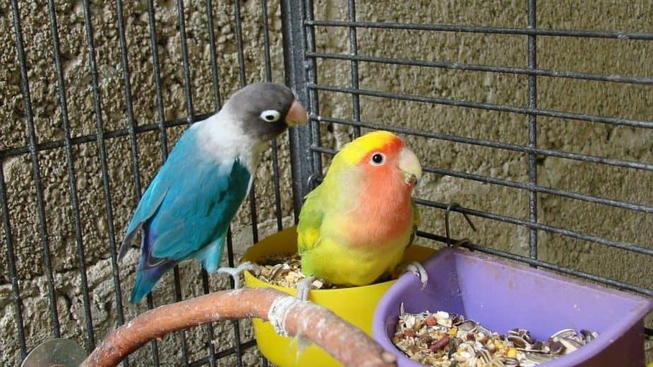 Mempunyai peliharaan memang tidak semua orang 8 Cara Mengatur Pola Makan Lovebird Agar Rajin Bunyi