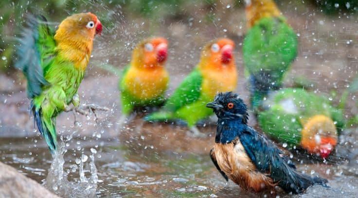 10 Manfaat Terapi Mandi Es untuk Lovebird