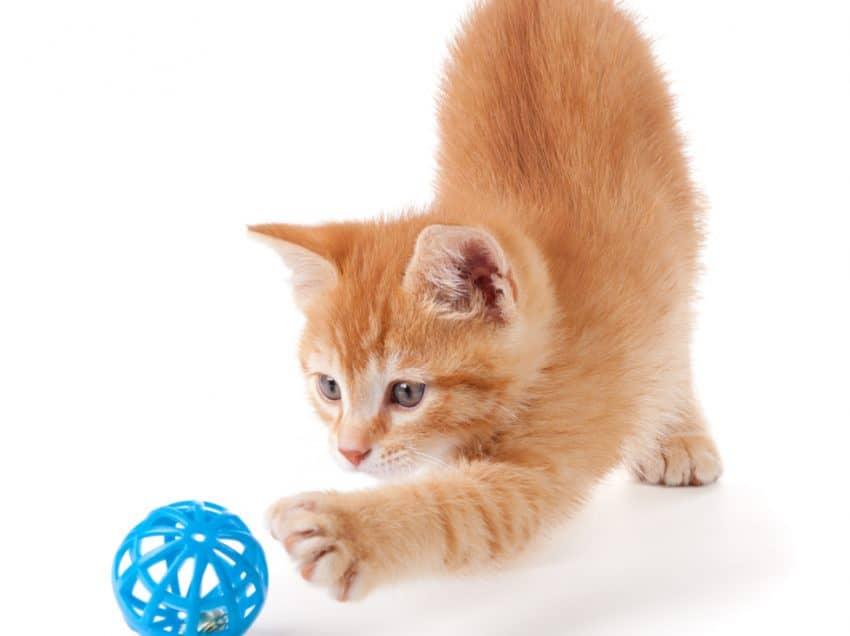 Tanda Kucing Ingin Bermain