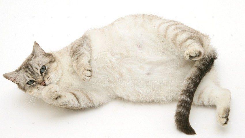 Tanda Kucing Hamil 1 Minggu