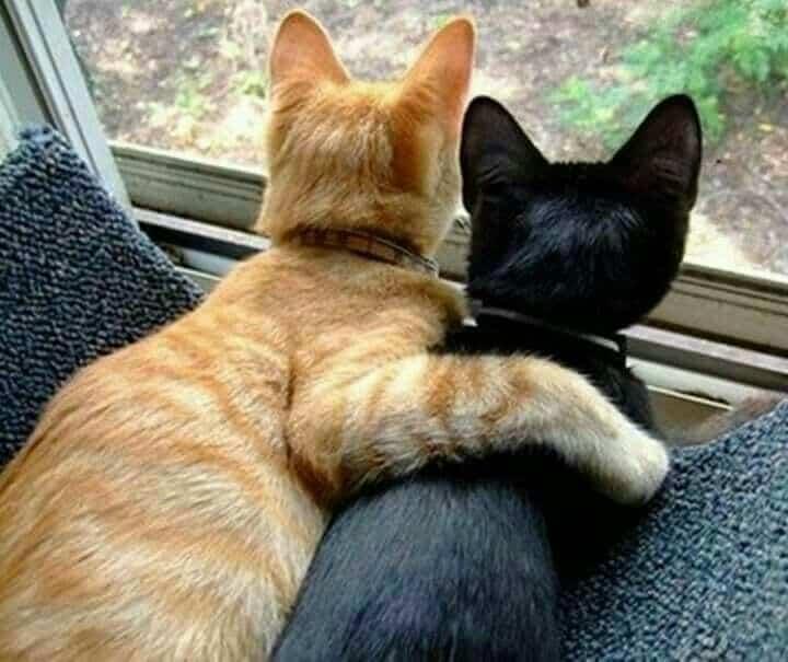 3 Cara Menyilangkan Warna Kucing Yang Kemungkinan Dapat Berhasil