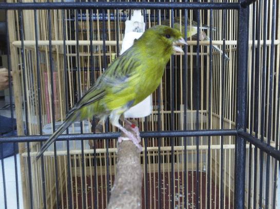 kenari merupakan salah satu dari sekian banyak jenis burung kicau yang 8 Cara Mengetahui Umur Kenari Dari Fisik