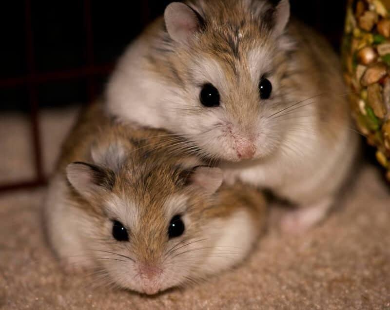 7 Cara Membedakan Hamster Jantan dan Betina