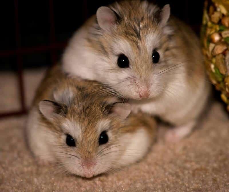dan cukup banyak yang menjadikan piaraan dirumah 7 Cara Membedakan Hamster Jantan dan Betina