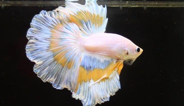 6 Makanan Ikan Cupang Agar Cepat Besar