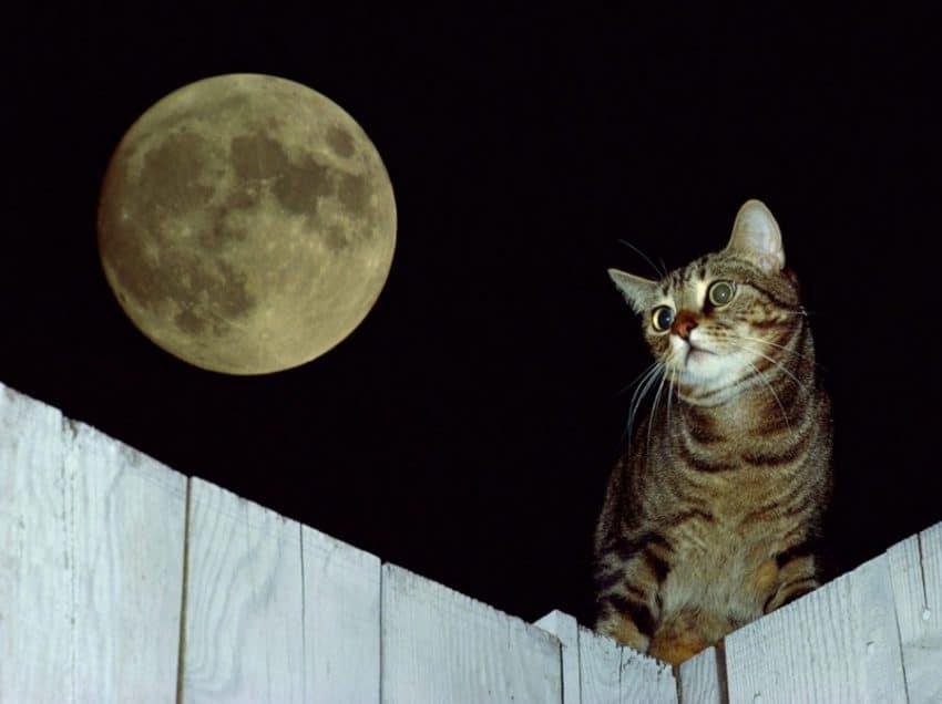 8 Penyebab Kucing Mengeong Terus Tengah Malam