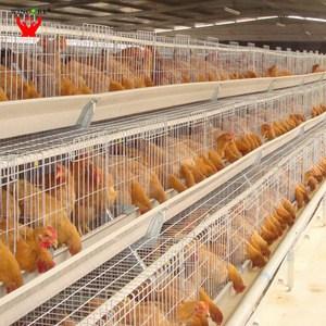 6 Cara Membuat Kandang Ayam Petelur Dari Kawat Yang Kuat Dan Aman