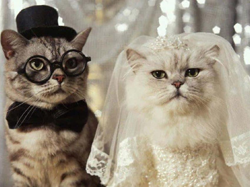 3 Cara Mengawinkan Kucing Persia Dengan Kucing Kampung Agar Berhasil