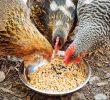 4 Cara Membuat Fermentasi Pakan Ayam Dari Sayuran Yang Benar