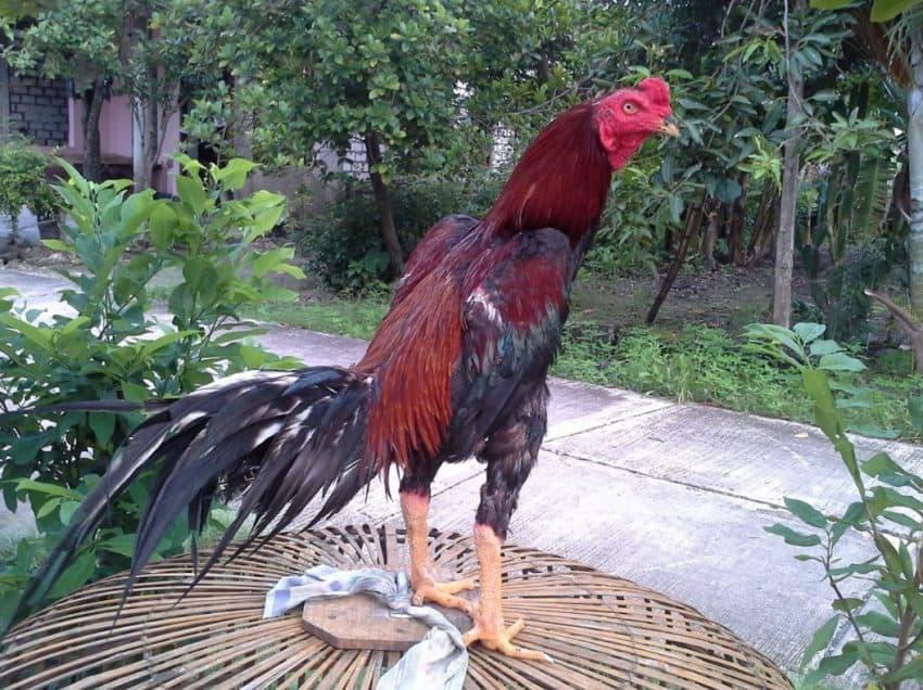 7 Ciri-Ciri Ayam Birma Paling Mudah Untuk Dikenali