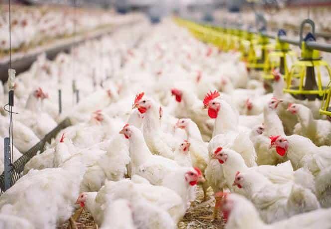 Ternak Ayam Broiler