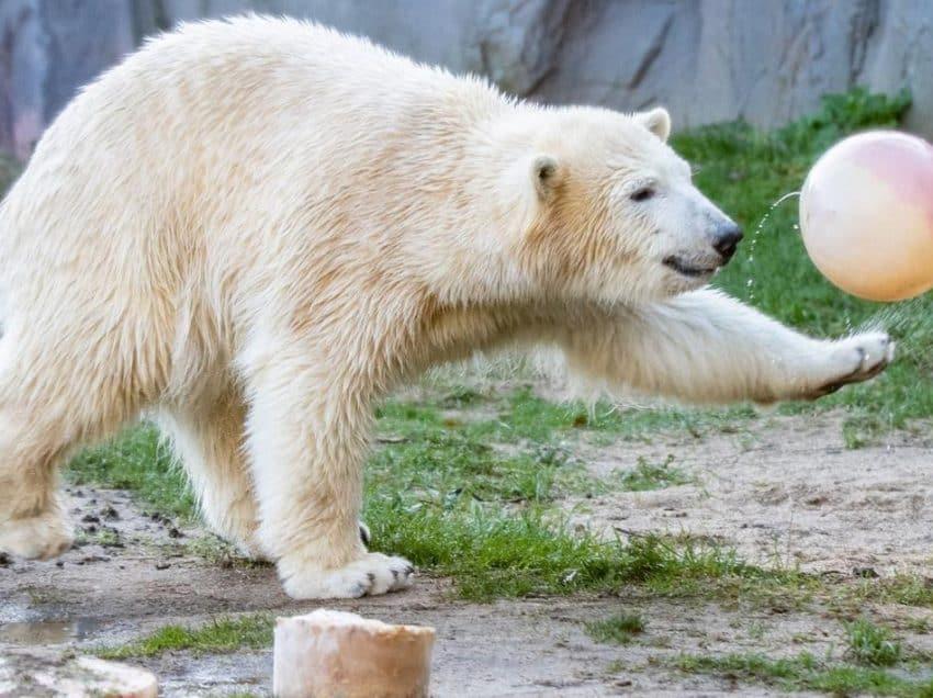 Ciri-Ciri Beruang Kutub yang Perlu Diketahui