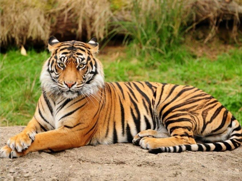 Ciri – Ciri Harimau Sumatera yang Mudah Dilihat