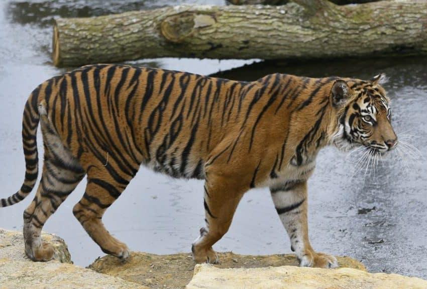 7 Penyebab Kelangkaan Harimau Sumatera