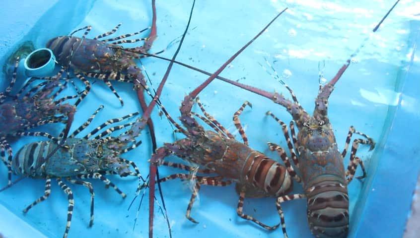 10 Jenis Lobster Air Tawar Yang Perlu Dikenali Arenahewan Com