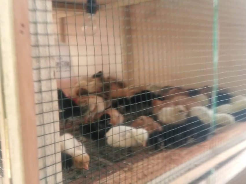 Cara Membuat Kandang Anak Ayam Baru Menetas