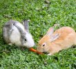 7 Makanan Kelinci Anggora Agar Cepat Besar