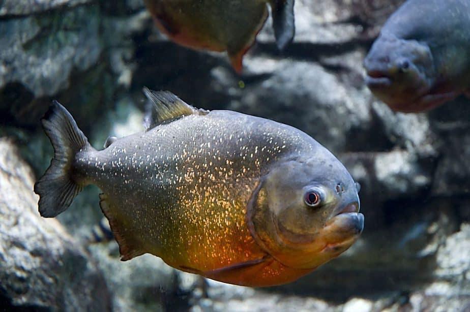 Piranha Perut Merah in Amazon