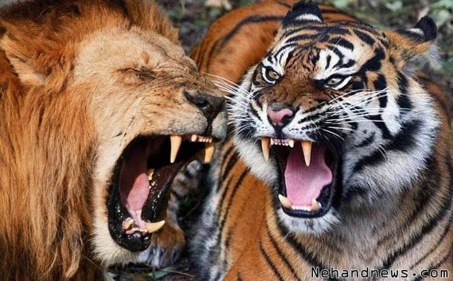 dan harimau tergolong jenis hewan yang paling ganas 7 Perbedaan Singa dan Harimau