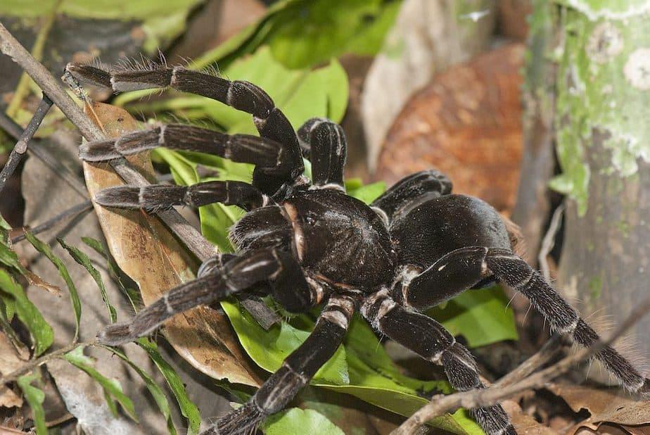 Tarantula in Amazon