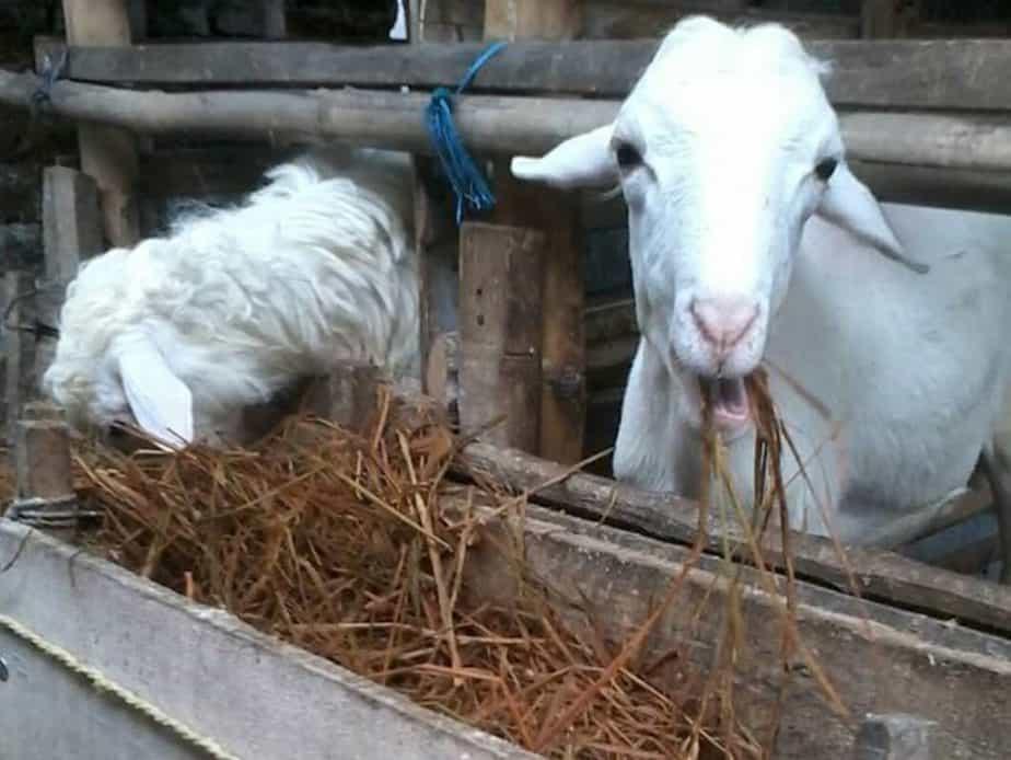 kambing fermentasi
