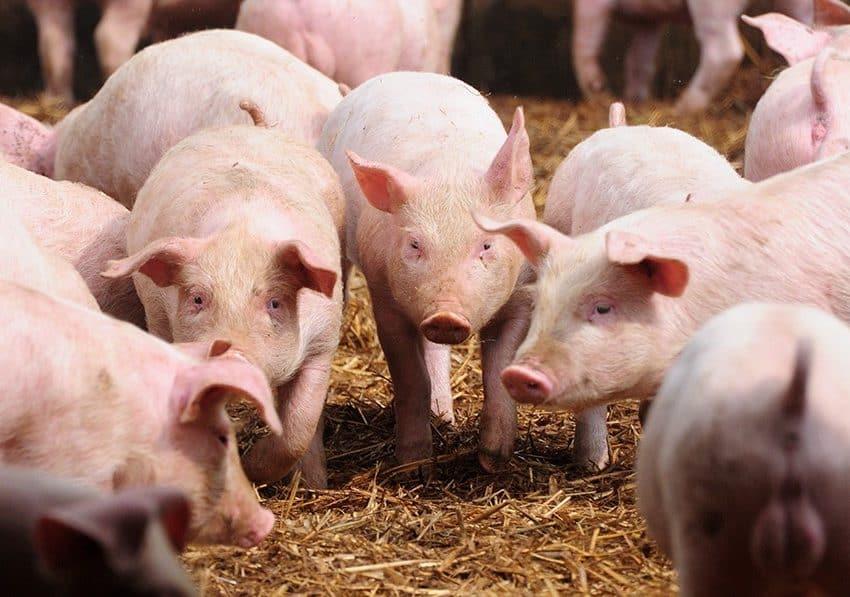 7 Cara Budidaya Ternak Babi yang Mudah untuk Dilakukan