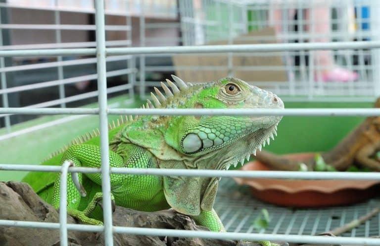 Iguana dalam Kandang