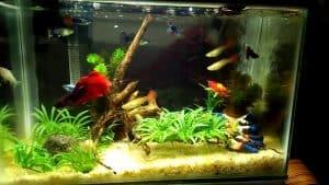 Ikan Cupang Aquarium