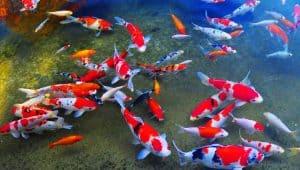 Ikan Koi Jepang