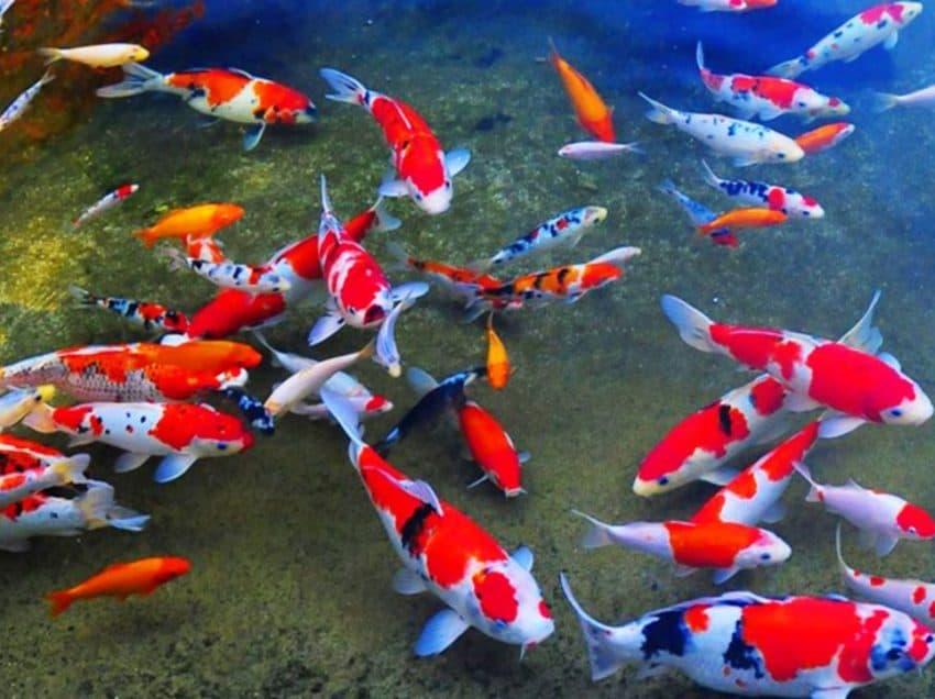 7 Ikan Hias Air Tawar Termahal dan Karakteristiknya