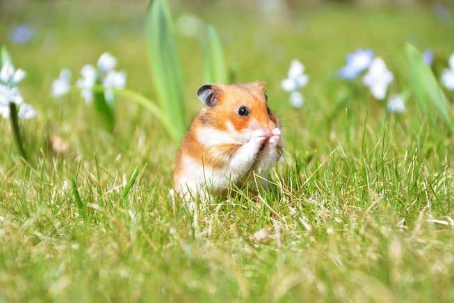 Jenis-Jenis Hamster yang Unik dan Lucu di Dunia