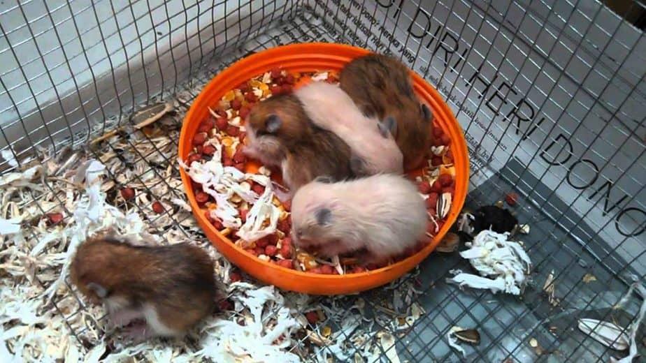 Makanan Bayi Hamster