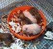 4 Jenis Makanan Bayi Hamster Berdasarkan Usianya