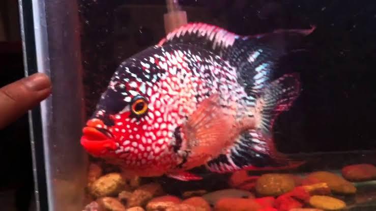 Red Texas Cichlids