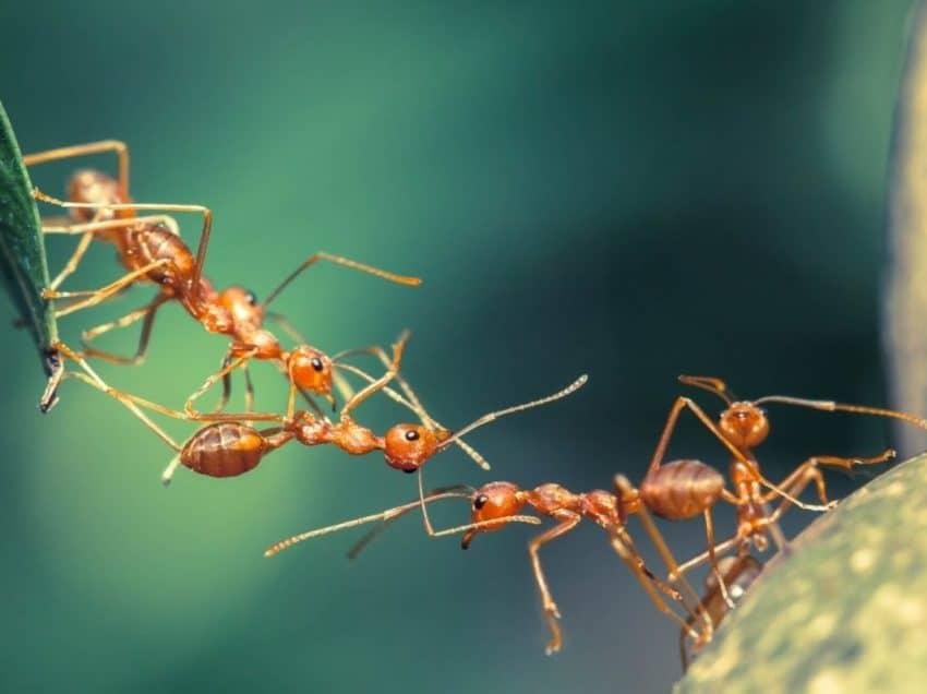 Jenis-Jenis Semut yang Sering Ditemukan di Sekitar