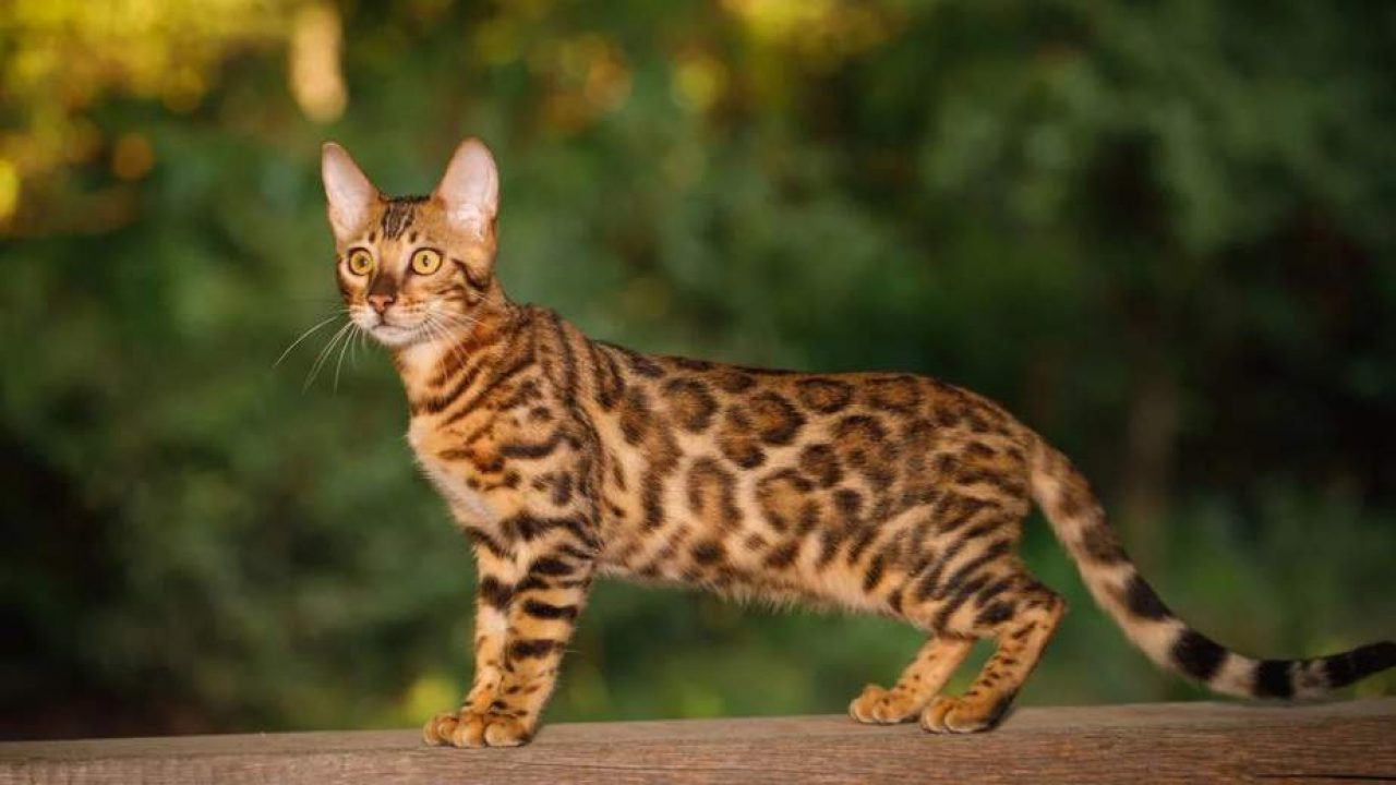 6 Kucing Termahal di Dunia, Punya Tampilan Keren Banget - ArenaHewan.com