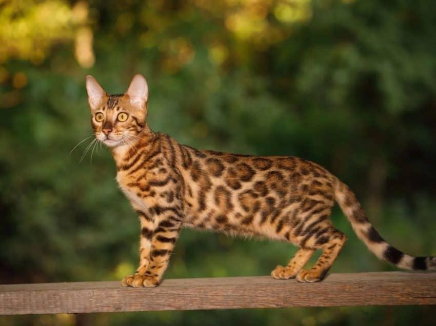 6 Kucing Termahal di Dunia, Punya Tampilan Keren Banget