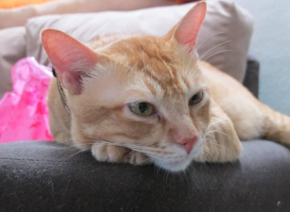 Bulu kucing oren