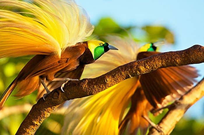 6 Fakta Burung Cendrawasih Menarik Untuk Diketahui