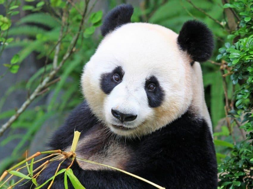 9 Ciri-Ciri Panda yang Dapat Diketahui Secara Fisik dan Sifat