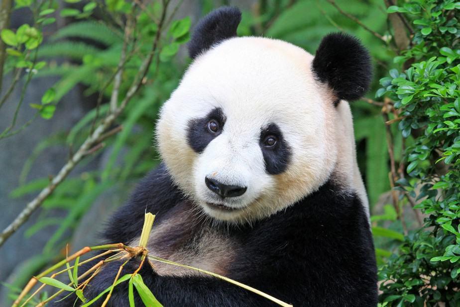 Hewan Panda besar