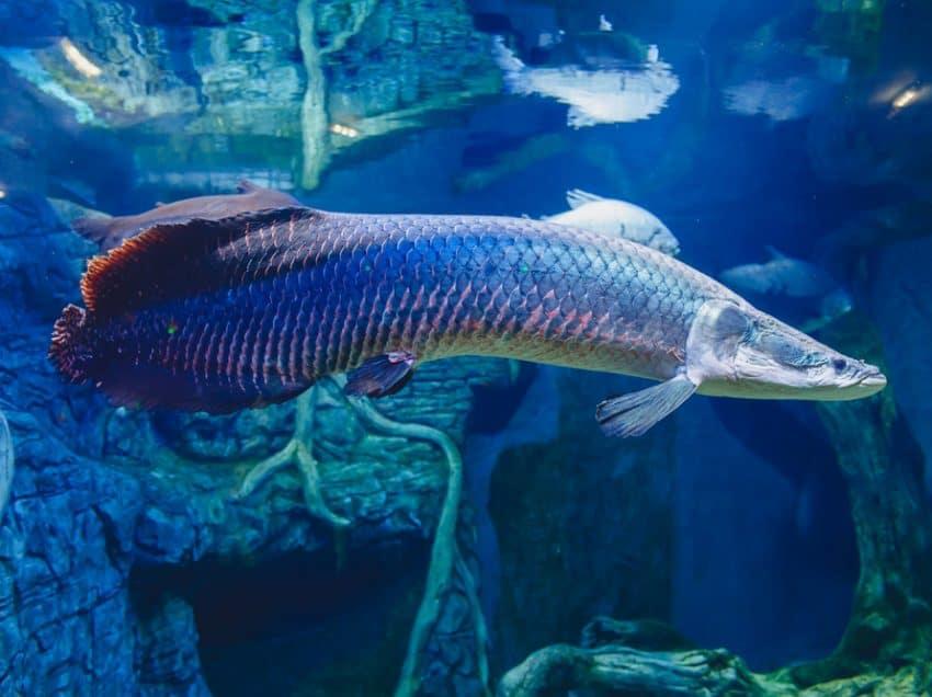 Karakteristik Ikan Arapaima dan Fakta-Faktanya