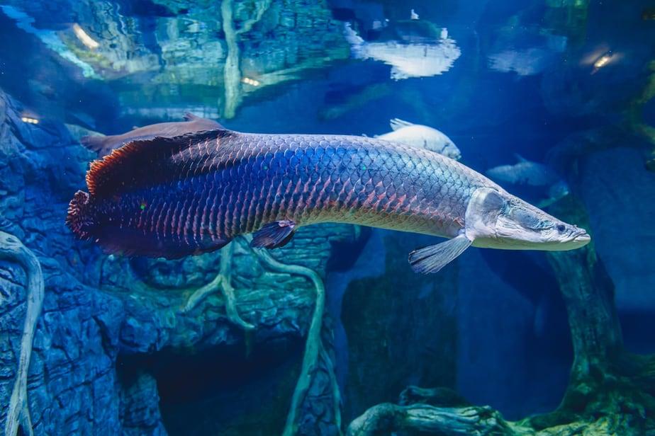 apalagi jenis ikan ternak yang bisa di konsumsi Karakteristik Ikan Arapaima dan Fakta-Faktanya